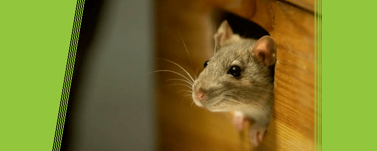 Rodent Extermination Services in Scarborough